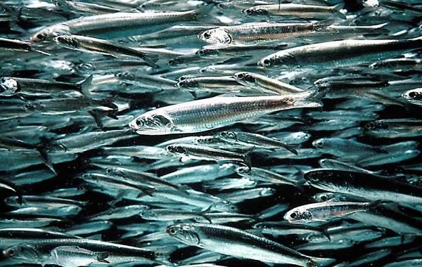 Рыбы-черного-моря-Названия-описания-и-особенности-рыб-черного-моря-5