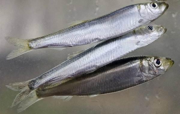 Рыбы-черного-моря-Названия-описания-и-особенности-рыб-черного-моря-6