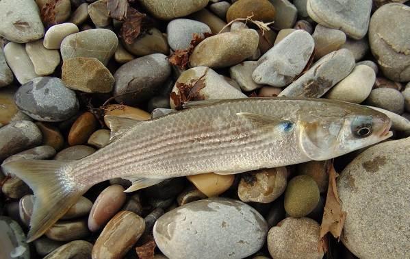 Рыбы-черного-моря-Названия-описания-и-особенности-рыб-черного-моря-7