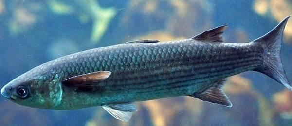 Рыбы-черного-моря-Названия-описания-и-особенности-рыб-черного-моря-8
