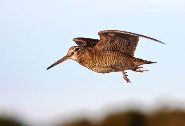 Вальдшнеп-птица-Описание-особенности-образ-жизни-и-среда-обитания-вальдшнепа-1