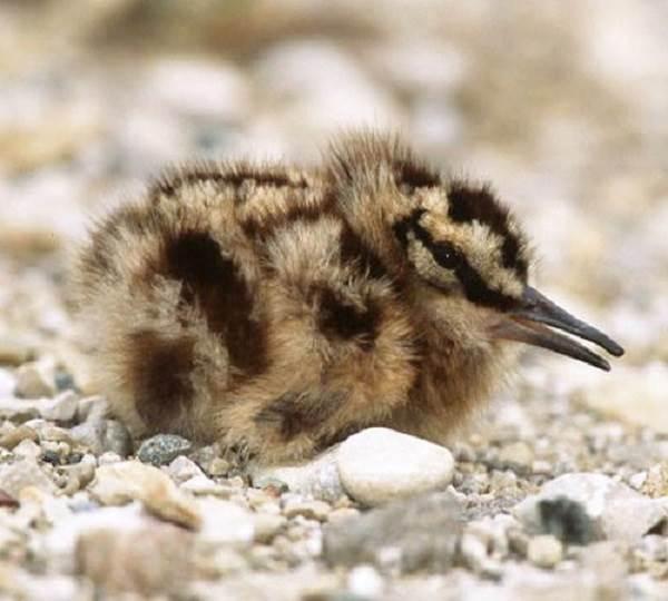 Вальдшнеп-птица-Описание-особенности-образ-жизни-и-среда-обитания-вальдшнепа-10