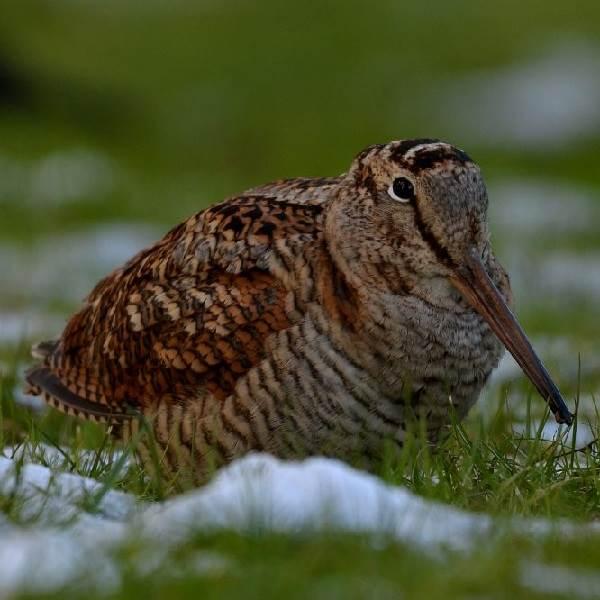 Вальдшнеп-птица-Описание-особенности-образ-жизни-и-среда-обитания-вальдшнепа-2