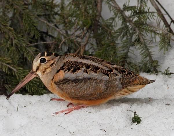 Вальдшнеп-птица-Описание-особенности-образ-жизни-и-среда-обитания-вальдшнепа-4