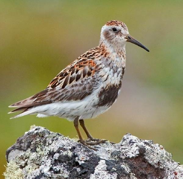 Вальдшнеп-птица-Описание-особенности-образ-жизни-и-среда-обитания-вальдшнепа-6