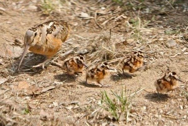 Вальдшнеп-птица-Описание-особенности-образ-жизни-и-среда-обитания-вальдшнепа-9