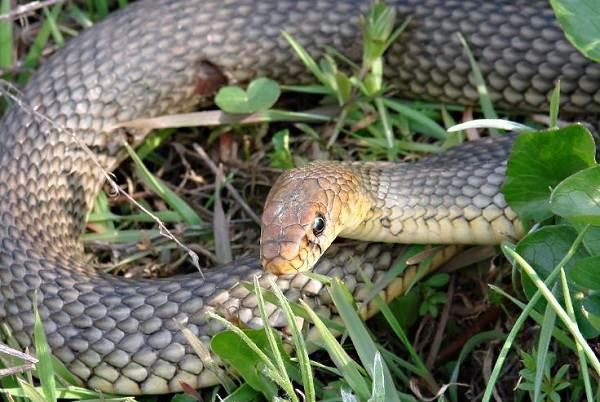 Желтобрюх-змея-Образ-жизни-и-среда-обитания-желтобрюха-1