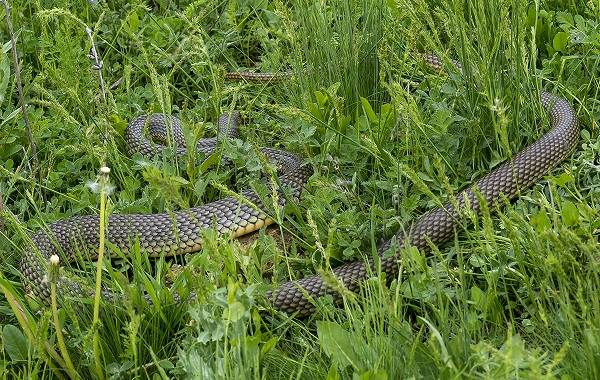 Желтобрюх-змея-Образ-жизни-и-среда-обитания-желтобрюха-10