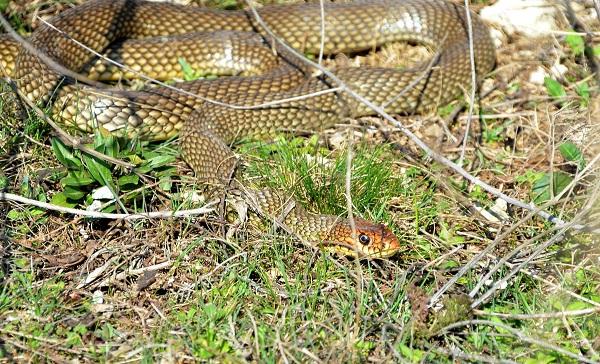 Желтобрюх-змея-Образ-жизни-и-среда-обитания-желтобрюха-16