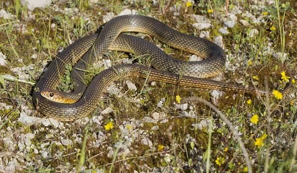 Желтобрюх-змея-Образ-жизни-и-среда-обитания-желтобрюха-2