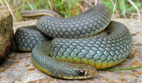 Желтобрюх-змея-Образ-жизни-и-среда-обитания-желтобрюха-4