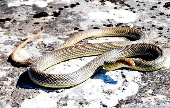 Желтобрюх-змея-Образ-жизни-и-среда-обитания-желтобрюха-5