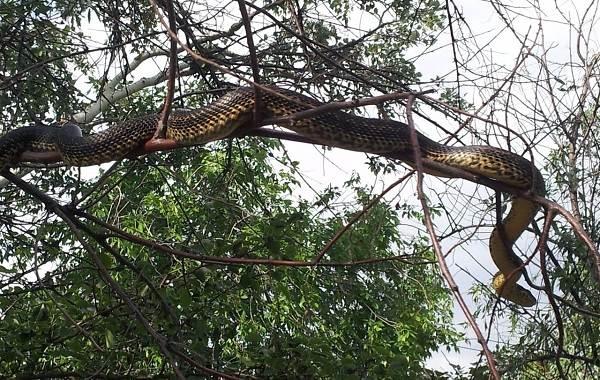 Желтобрюх-змея-Образ-жизни-и-среда-обитания-желтобрюха-9