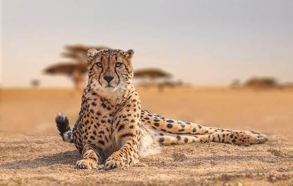 Животные-саванны-Описания-названия-и-особенности-животных-саванны-16
