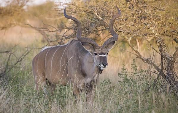 Животные-саванны-Описания-названия-и-особенности-животных-саванны-2