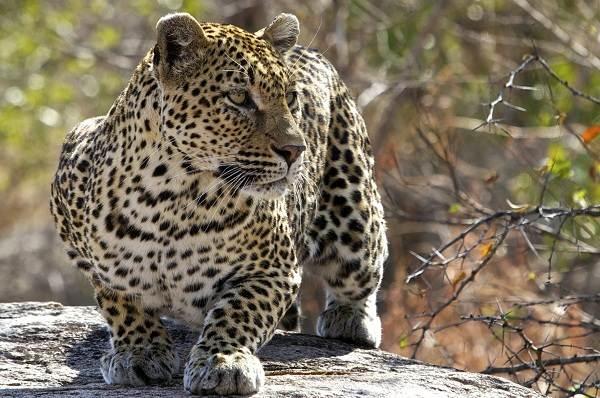 Животные-саванны-Описания-названия-и-особенности-животных-саванны-22