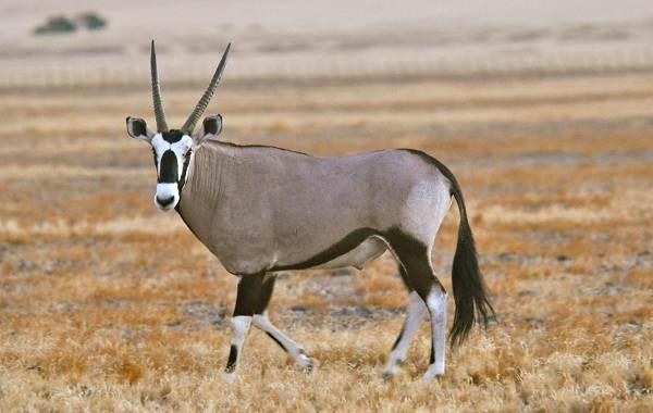 Животные-саванны-Описания-названия-и-особенности-животных-саванны-28