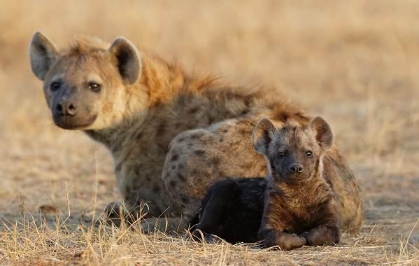 Животные-саванны-Описания-названия-и-особенности-животных-саванны-32