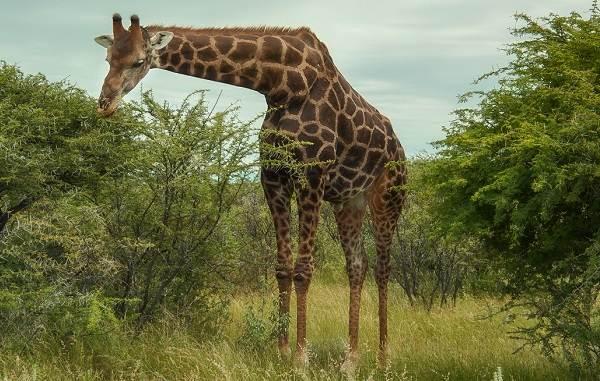 Животные-саванны-Описания-названия-и-особенности-животных-саванны-5