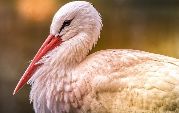 Аист-птица-Описание-особенности-виды-и-среда-обитания-аиста-1