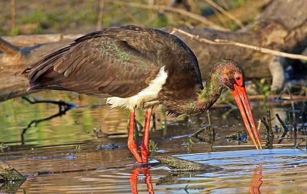 Аист-птица-Описание-особенности-виды-и-среда-обитания-аиста-10