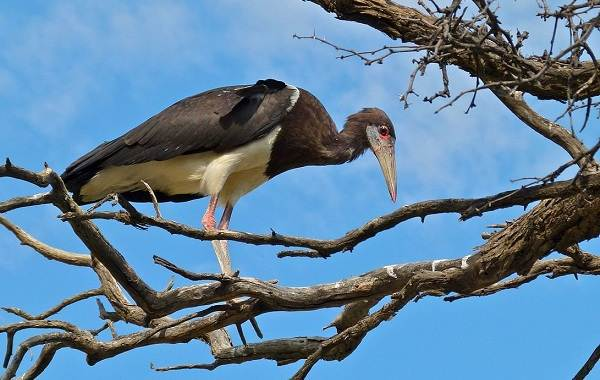 Аист-птица-Описание-особенности-виды-и-среда-обитания-аиста-12