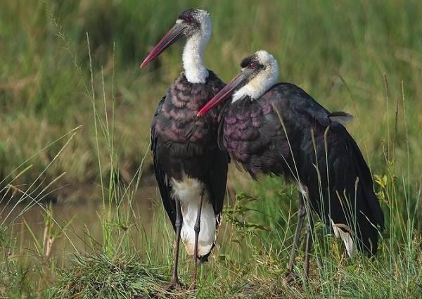 Аист-птица-Описание-особенности-виды-и-среда-обитания-аиста-13