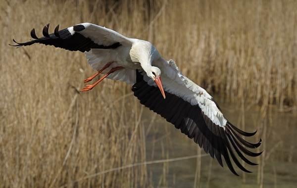 Аист-птица-Описание-особенности-виды-и-среда-обитания-аиста-19