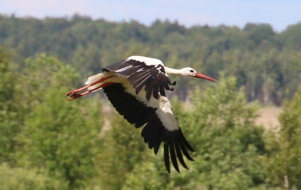 Аист-птица-Описание-особенности-виды-и-среда-обитания-аиста-2