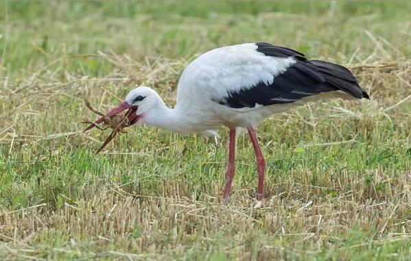 Аист-птица-Описание-особенности-виды-и-среда-обитания-аиста-20