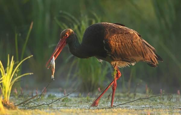 Аист-птица-Описание-особенности-виды-и-среда-обитания-аиста-21