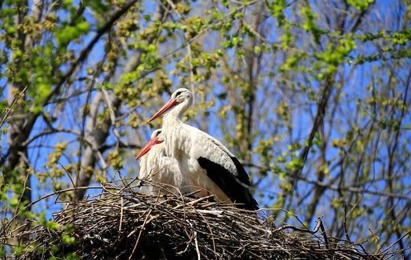 Аист-птица-Описание-особенности-виды-и-среда-обитания-аиста-22