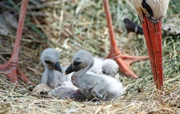 Аист-птица-Описание-особенности-виды-и-среда-обитания-аиста-23