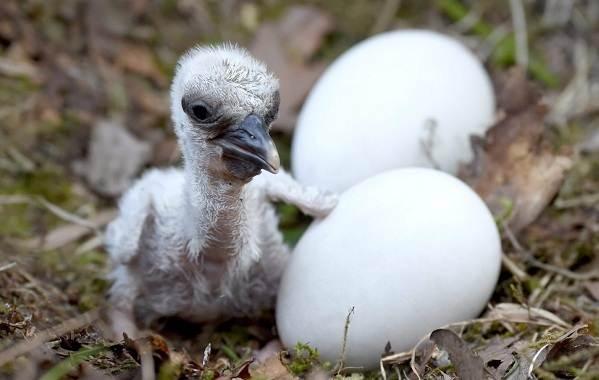 Аист-птица-Описание-особенности-виды-и-среда-обитания-аиста-24