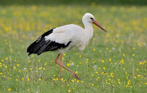 Аист-птица-Описание-особенности-виды-и-среда-обитания-аиста-5