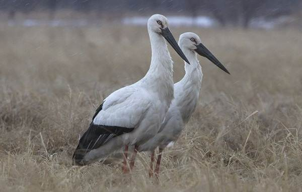 Аист-птица-Описание-особенности-виды-и-среда-обитания-аиста-8