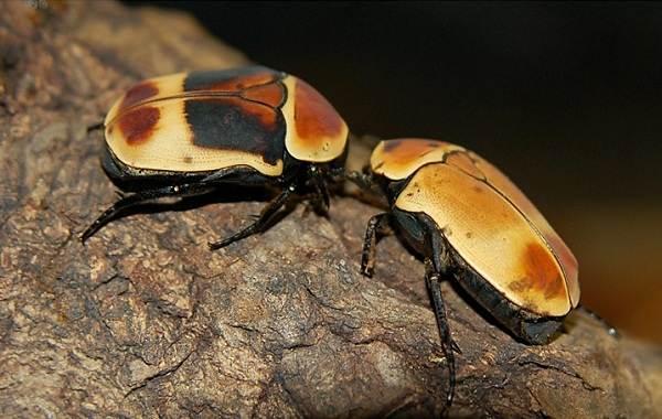 Бронзовка-жук-Описание-особенности-виды-и-среда-обитания-жука-бронзовки-10