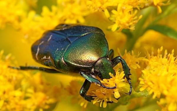 Бронзовка-жук-Описание-особенности-виды-и-среда-обитания-жука-бронзовки-13