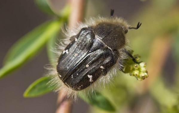 Бронзовка-жук-Описание-особенности-виды-и-среда-обитания-жука-бронзовки-15