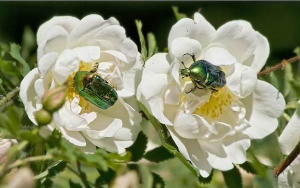 Бронзовка-жук-Описание-особенности-виды-и-среда-обитания-жука-бронзовки-16