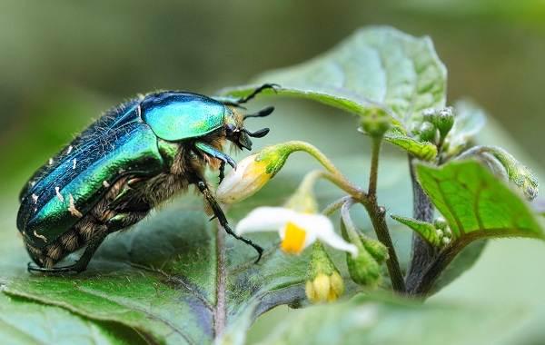 Бронзовка-жук-Описание-особенности-виды-и-среда-обитания-жука-бронзовки-2
