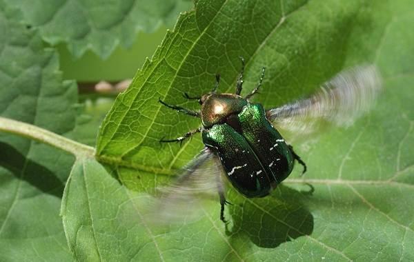 Бронзовка-жук-Описание-особенности-виды-и-среда-обитания-жука-бронзовки-3