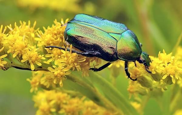 Бронзовка-жук-Описание-особенности-виды-и-среда-обитания-жука-бронзовки-5