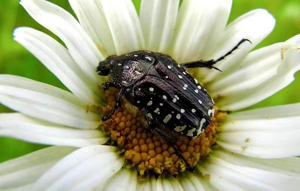 Бронзовка-жук-Описание-особенности-виды-и-среда-обитания-жука-бронзовки-6