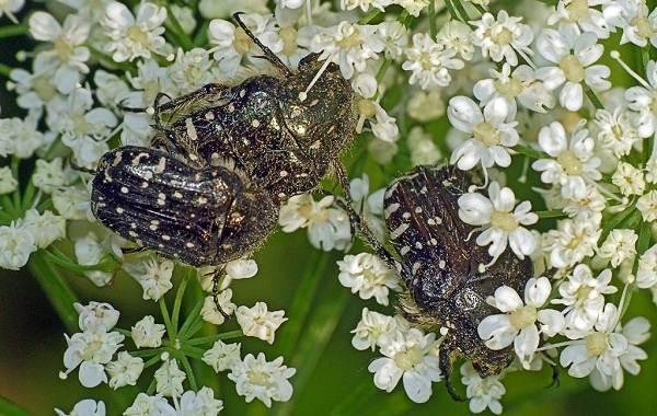 Бронзовка-жук-Описание-особенности-виды-и-среда-обитания-жука-бронзовки-7