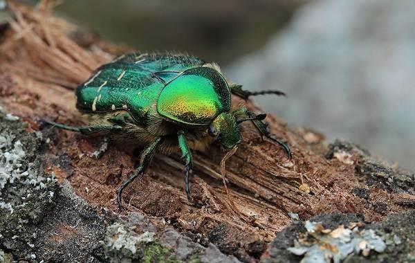 Бронзовка-жук-Описание-особенности-виды-и-среда-обитания-жука-бронзовки-9