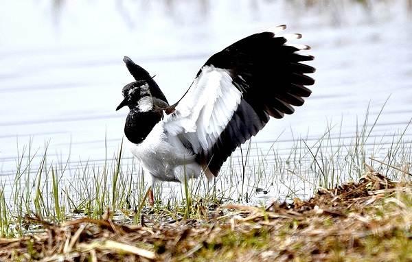 Чибис-птица-Образ-жизни-и-среда-обитания-чибиса-10