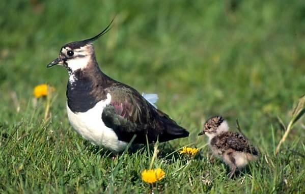 Чибис-птица-Образ-жизни-и-среда-обитания-чибиса-11