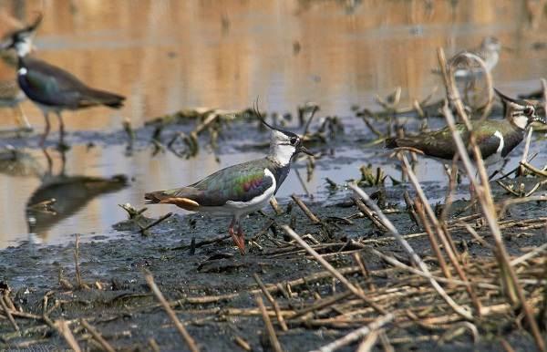 Чибис-птица-Образ-жизни-и-среда-обитания-чибиса-12