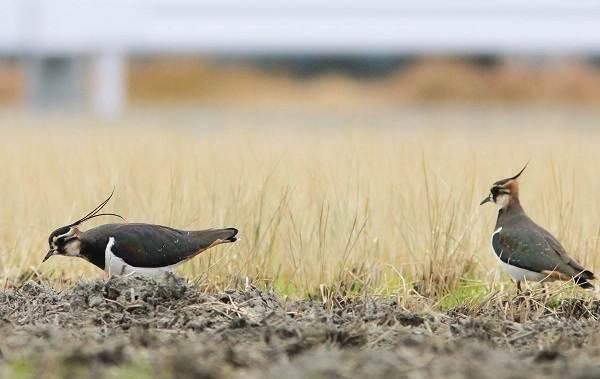 Чибис-птица-Образ-жизни-и-среда-обитания-чибиса-13